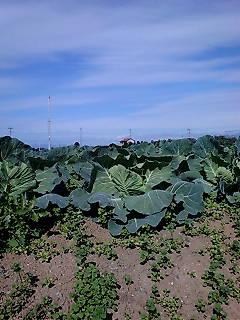 昨年見ていたキャベツ畑